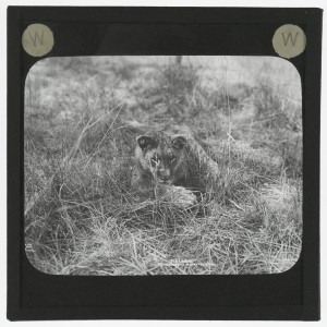 'A Lion Lying in the Grass'. Photograph of a lion (female) lying in the grass in Africa in the early 20th century. © The University of Edinburgh http://images.is.ed.ac.uk/luna/servlet/s/zi2v84