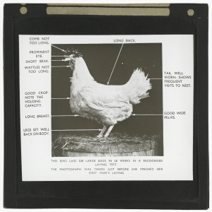 Chicken analytics © The University of Edinburgh http://images.is.ed.ac.uk/luna/servlet/s/17q3tn